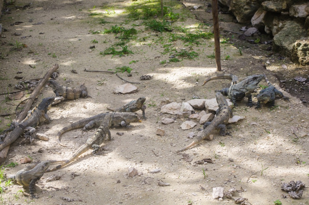 """Bonjour les """"petits"""" lézards!"""