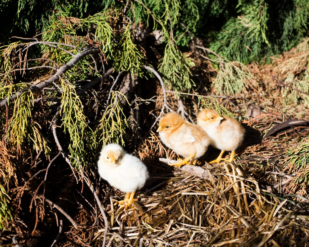 Les 3 nouveaux venus à la ferme