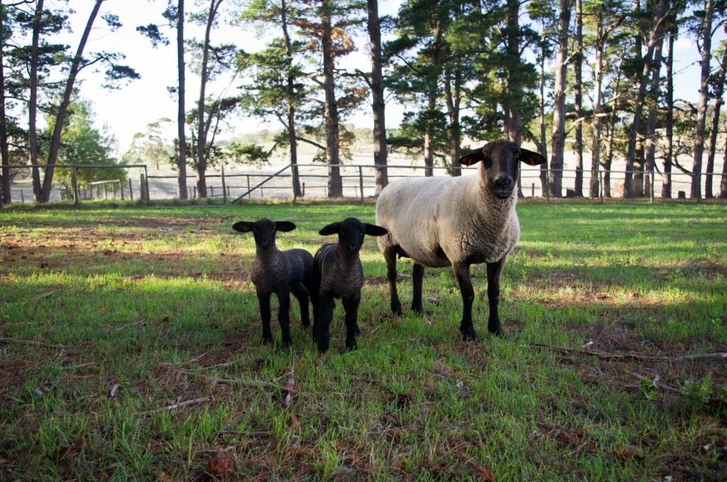 Les 2 premiers agneaux