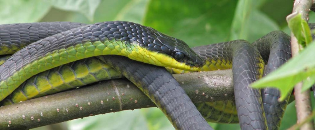 Tree snake, Daintree river