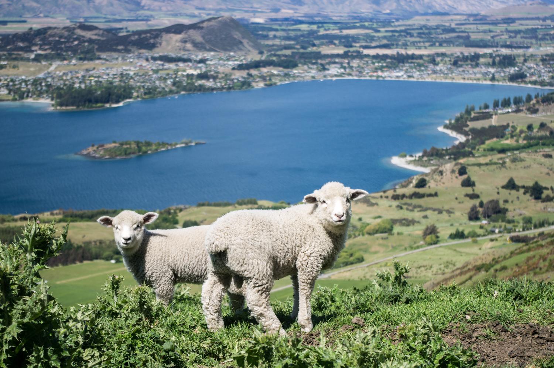 Les agneaux de Wanaka